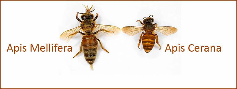 Apis Cerana - Asian Bee