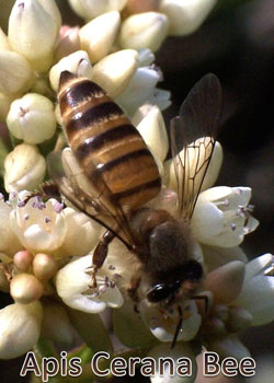 Local Honey from Apis Cerana Bee Sell in Nepal