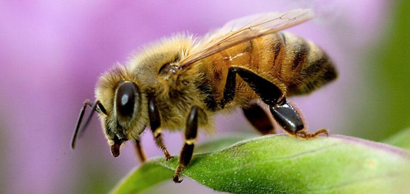 10 Amazing Honey bee facts