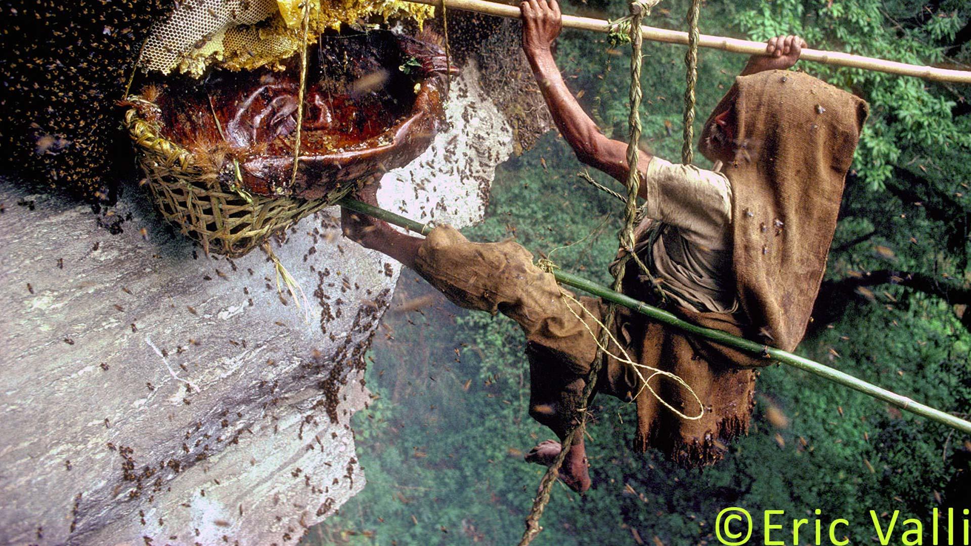 Buy Wild Honey Hunters from Himalayas Nepal